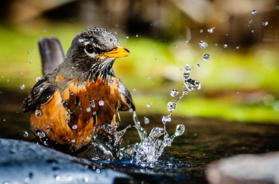 0036--Robin-Bath