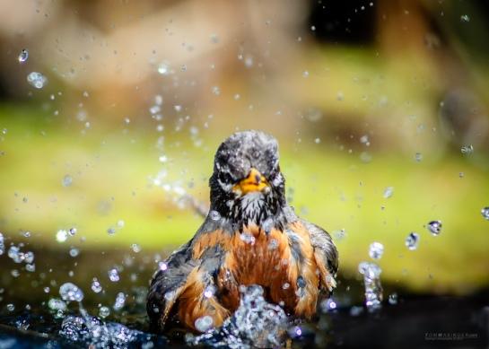 0139--Robin-Bath