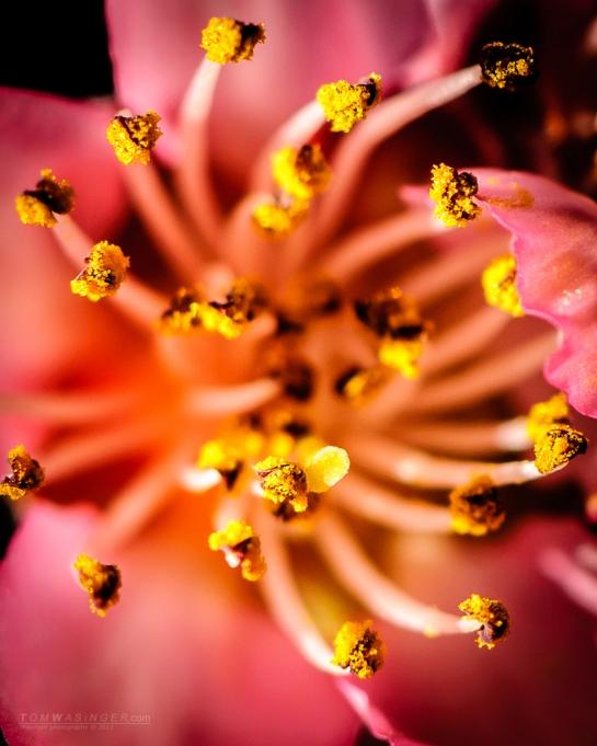 5727--Peach-Blossom