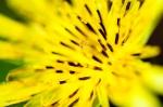 6636--Milkweed-flower