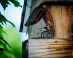 6778--Nesting-Dove